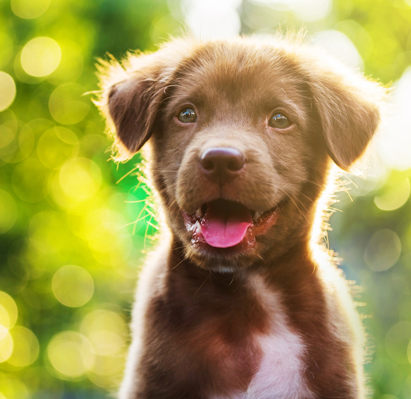 brown puppy with bokeh background